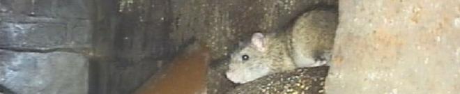 Kanal-TV mit Ratte